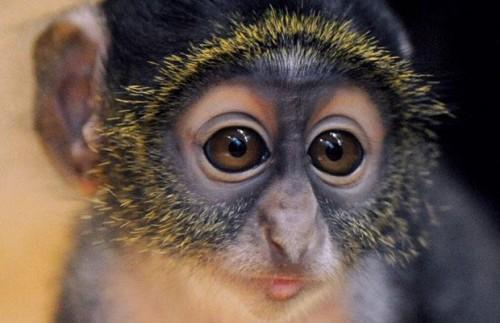 Сайкс обезьянко