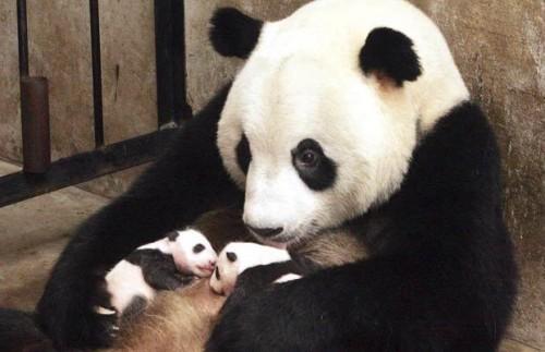 Мама і панденятка