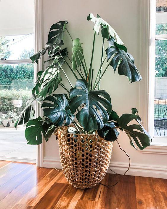 Невибагливі рослини для дому: монстера