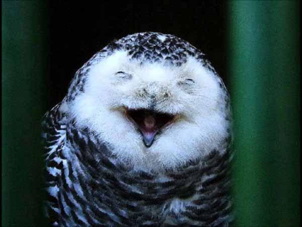 Совы тоже умеют смеяться
