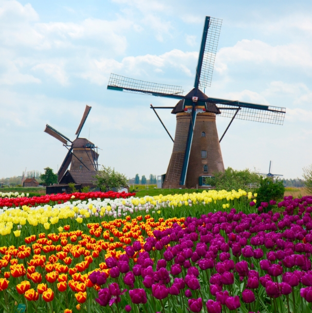 Тюльпани в Нідерландах