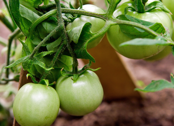 Зеленые помидоры на зиму: правила соления