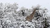 Африка в снегу