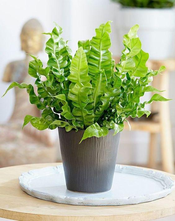Невибагливі рослини для дому: костенець гньоздовий