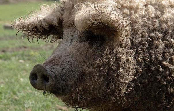 Свинопудель или свинобаран