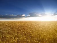 Пшеница поспевает