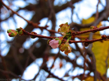 Фотофакт: на Закарпатье в ноябре зацвела сакура