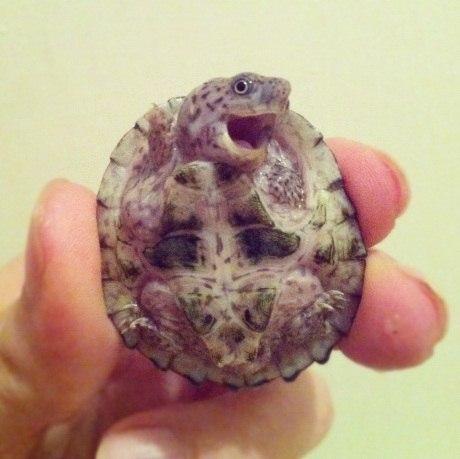 Позитивная новорожденная черепашка