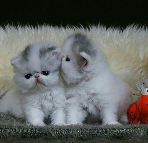 Самые смешные коты: фото породы персидская чайная