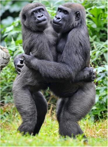 Любовь обезьян