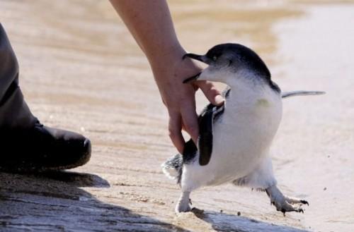 Жлой пингвинятко