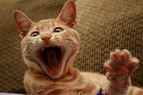 Зевающие котята