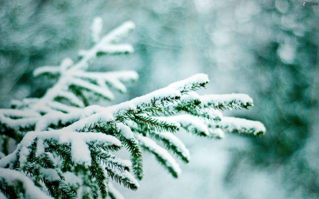 Ветки ели и зима