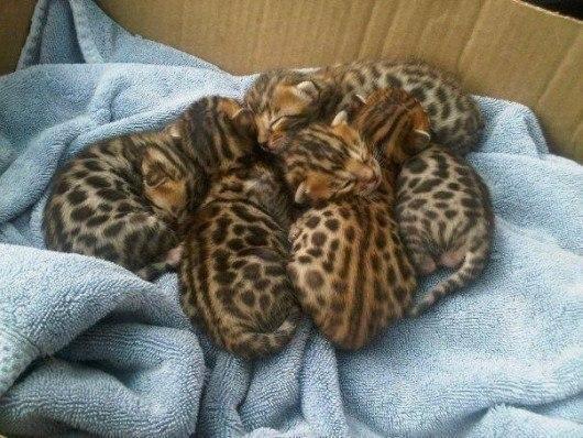 Няшные малыши из семейства кошачих