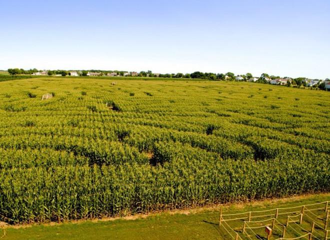В Киеве создали гигантский лабиринт в кукурузном поле в форме карты Украины
