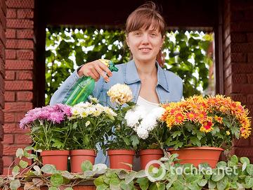 Як доглядати за хризантемою