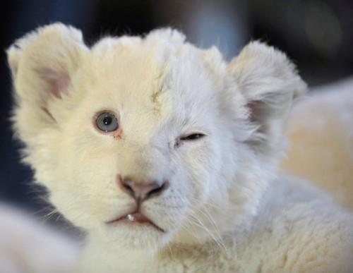 Львы манюни