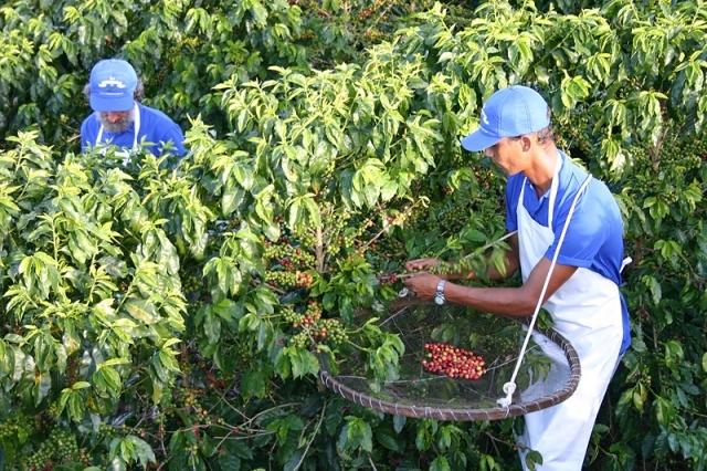 Бразилія Фото: Як видобувають бразильська кава