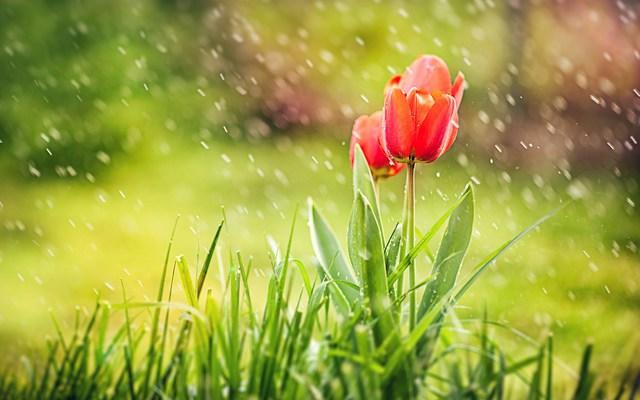 Тюльпаны под дождем