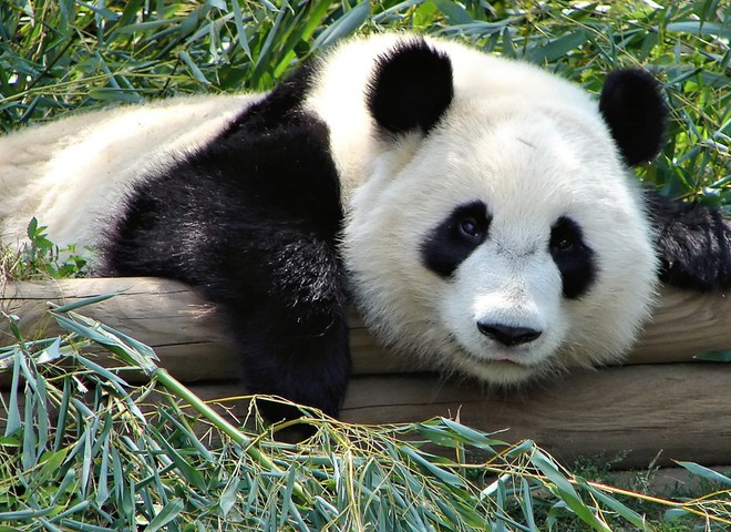 Панда - найдобріше ведмежа-вегетаріанець