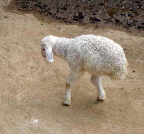 Двуногая овца