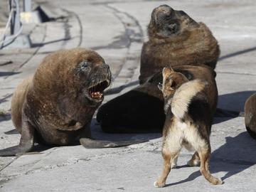 морские львы в Аргентине