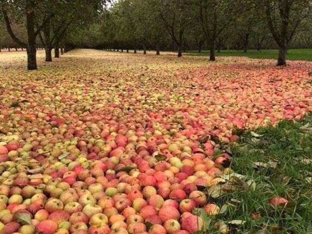 Килим з яблук: гарні наслідки урагану в Ірландії