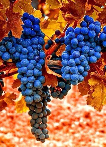 Фотографии сочного винограда