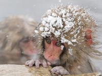 Обезьянки в снегу