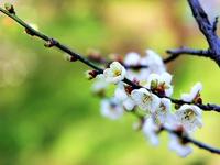 Ветка в цветах