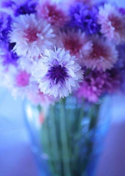 Красочные снимки васильков