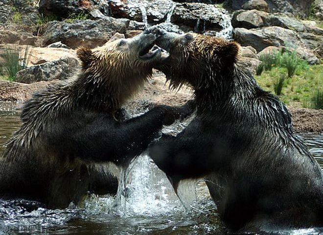 Как развлекаются медведи гризли: съемка скрытой камерой