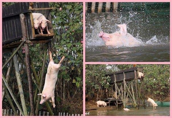 Чувство, когда свинки отдыхают летом круче тебя!