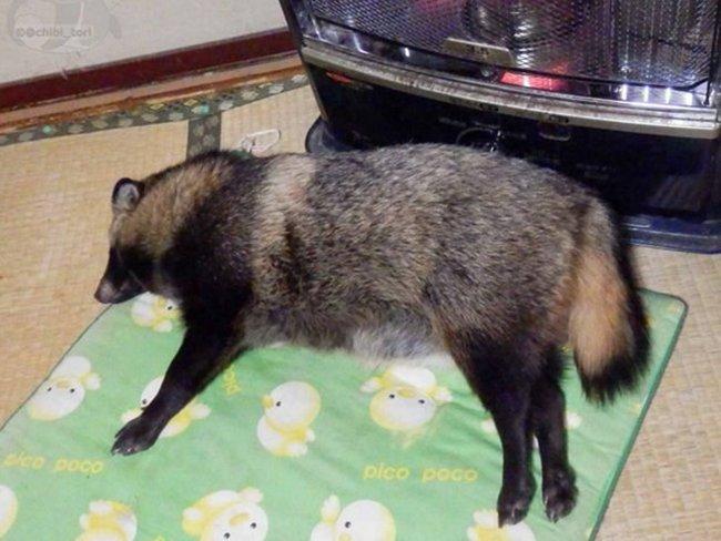 Няшка тануки или енотовидная собака