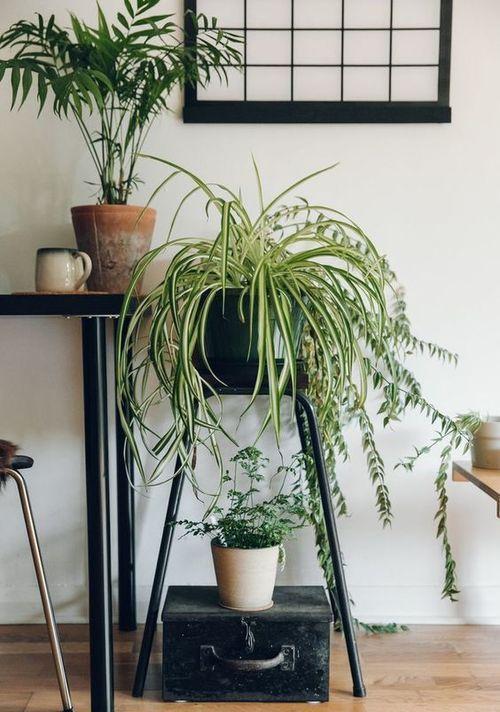 Невибагливі рослини для дому: хлорофітум хохлатий