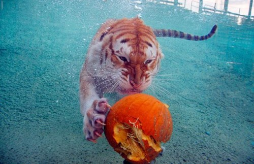 Жлой тигра!