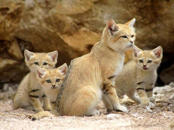 Песчаные котята