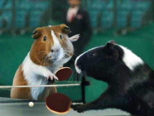 Свинья олимпиада