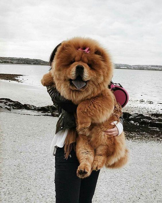 Найсмішніші породи собак: Чау-чау