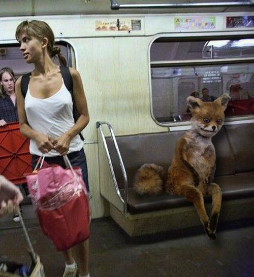 Лиса-наркоман продолжает путешествовать