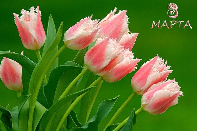 Красивые тюльпаны на 8 марта