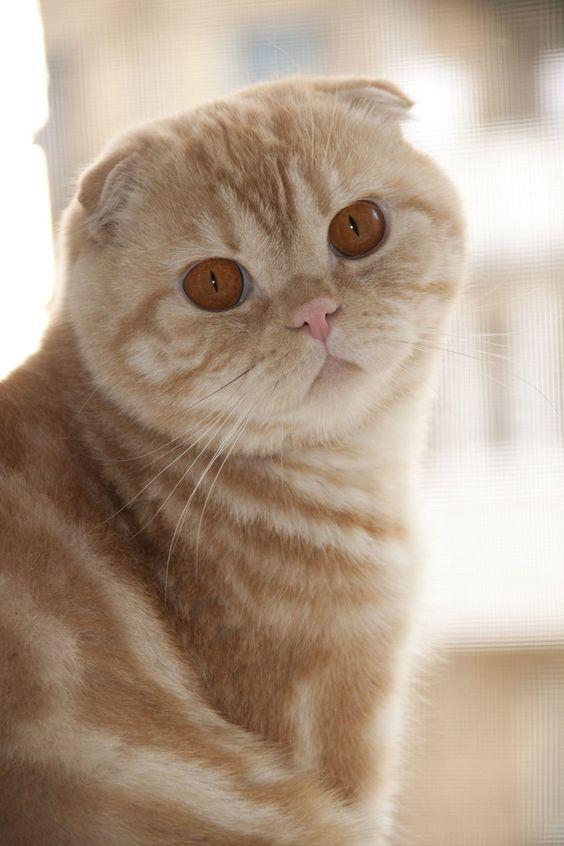Самые смешные коты: фото породы шотландская вислоухая