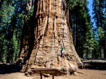 """Дерево на прізвисько """"президент"""", Sequoia National Park"""
