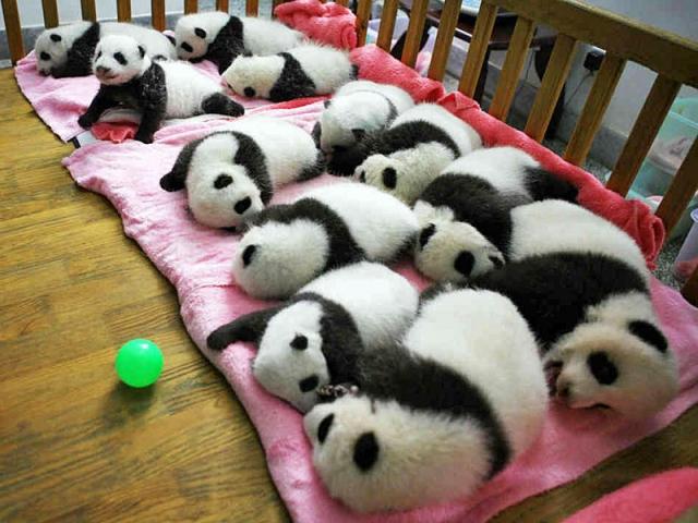 Де побачити панду: Центр вивчення і розведення Великих панд, Ченду, Китай