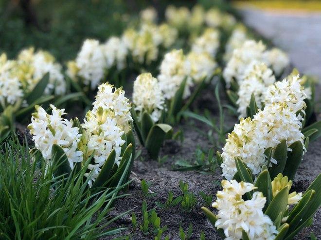 Певческое поле приглашает посетить популярную ежегодную выставку тюльпанов онлайн