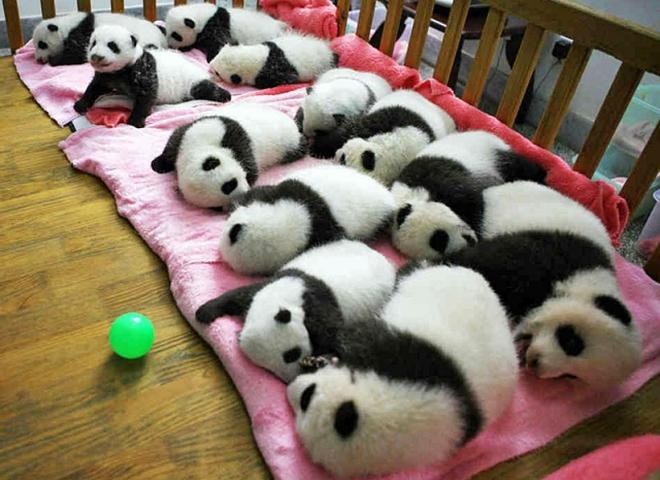 Где увидеть панду: Центр изучения и разведения Больших панд, Чэнду, Китай