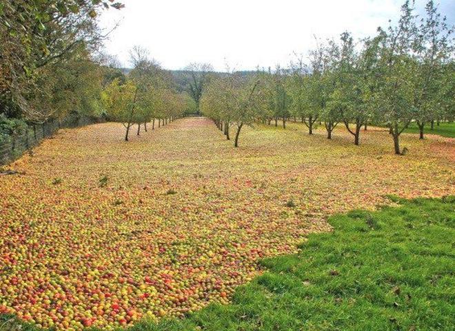 Ковер из яблок: красивые последствия урагана в Ирландии