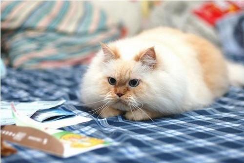 Забавный гималайский кот