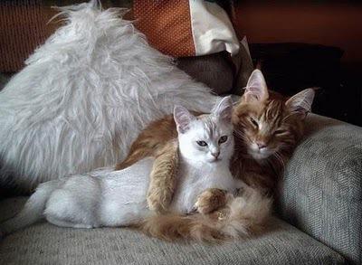 любощі кішаків