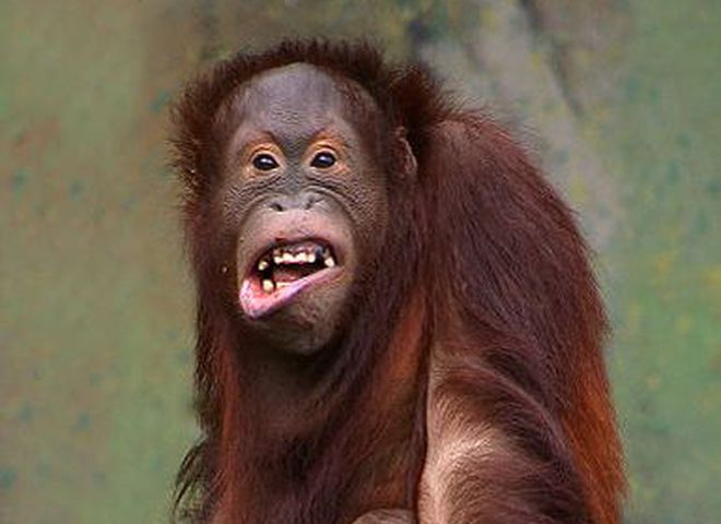 a report on the observations of four orangutans